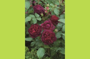 MUNSTEAD WOOD ® Ausbernard - David Austin Roses