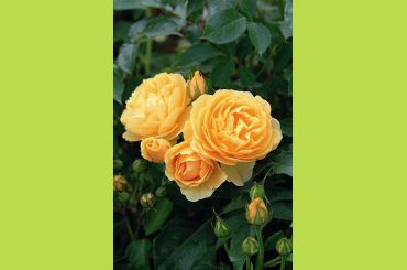 Tige GRAHAM THOMAS ® Ausmas - David Austin Roses