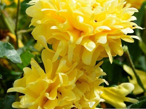 GOLDEN LADY RUFFLES ® Interrufleeg - Sunflor