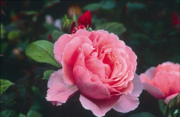 BROTHER CADFAEL ® Ausglobe - David Austin Roses
