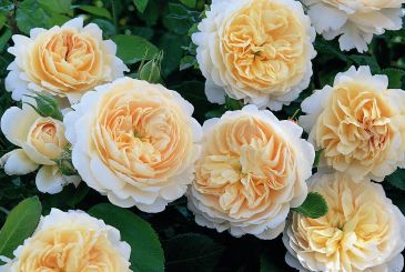 CROCUS ROSE ® Ausquest - David Austin Roses