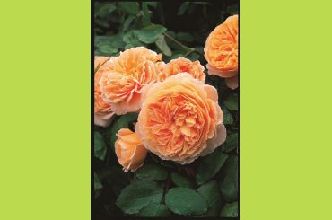 CROWN PRINCESS MARGARETA ® Auswinter - David Austin Roses