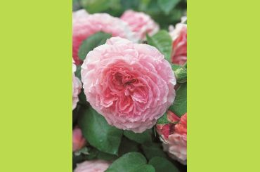 JAMES GALWAY ® Auscrystal - David Austin Roses