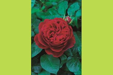 L D BRAITHWAITE ® Auscrim - David Austin Roses