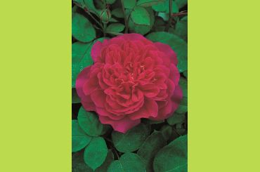 SOPHY S ROSE ® Auslot - David Austin Roses