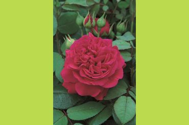 TESS OF THE DUBERVILLE ® Ausmove - David Austin Roses