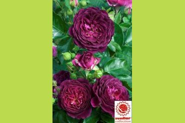 PURPLE EDEN ® Weksmopur - Sunflor